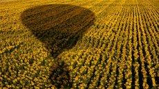 Camp de girasols esquivant l'ombra del globus