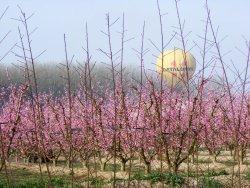 Vola per sobre les catifes de flors roses a Aitona