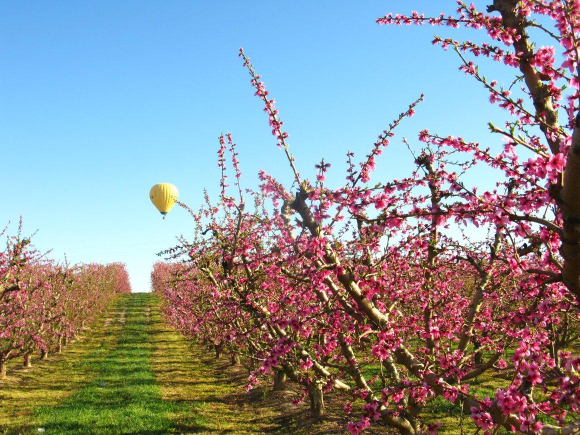 Vuelo en globo sobre frutales en flor en el Segrià