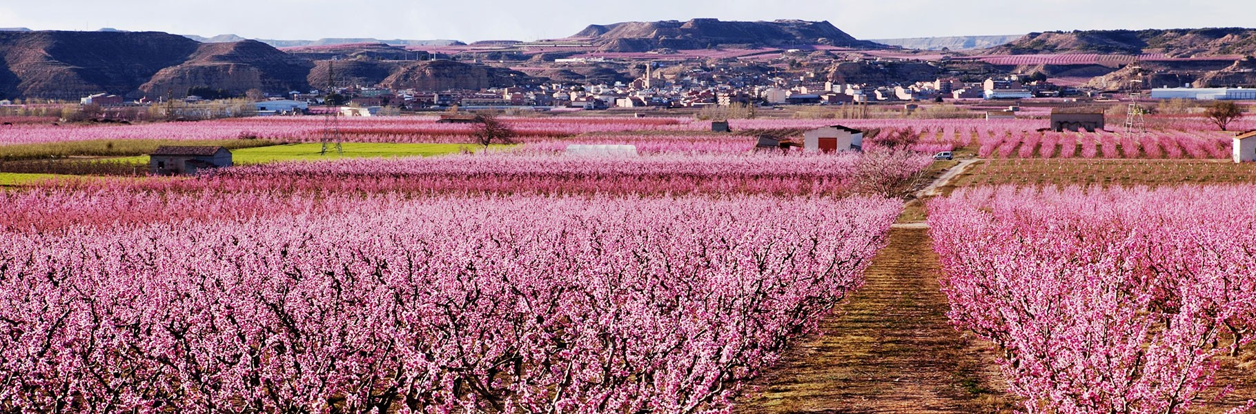 Enjoy the aerial view of the fruit trees blossom
